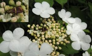 Nemophora sp (amatella?)